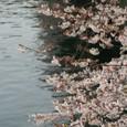 川縁の桜並木_8